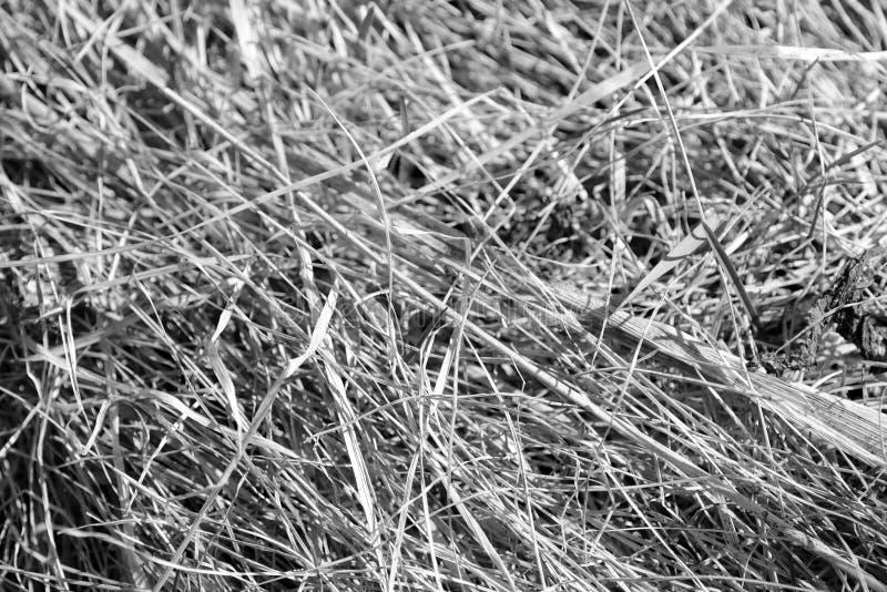 Punto di vista alto vicino di erba asciutta Sfondo naturale in bianco e nero fotografie stock libere da diritti