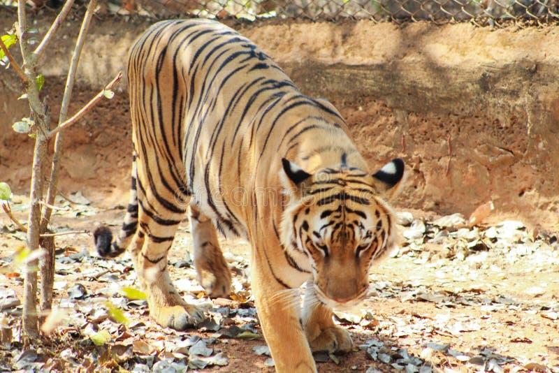Punto di vista alto vicino di una tigre femmina della tigre fotografia stock libera da diritti