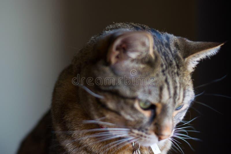 Punto di vista aperto vicino del gatto di soriano che guarda fuori calma della finestra e rilassato immagine stock