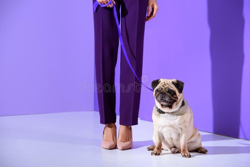 punto di vista basso della sezione della ragazza che posa con il cane del carlino, tendenza ultravioletta fotografia stock