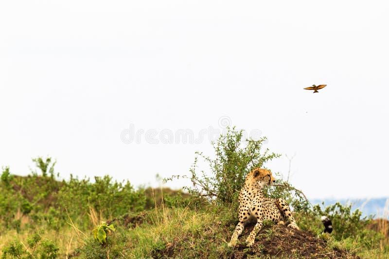 Punto di punto di vista dei ghepardi in savanna Masai Mara, Kenia immagine stock libera da diritti