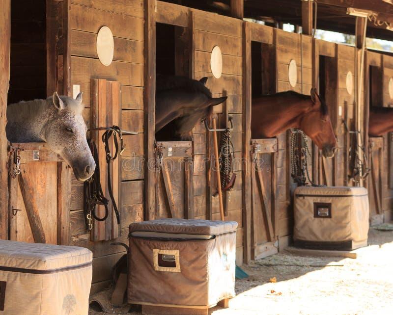 Punto di vista del cavallo di baia di Brown fuori la stalla in un granaio fotografia stock