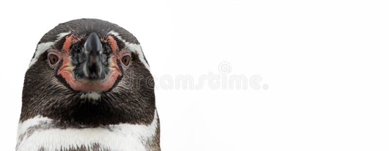 Punto di vista del primo piano di un pinguino, isolato immagini stock