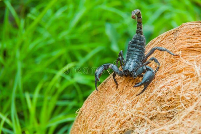 Punto di vista del primo piano di uno scorpione in natura fotografie stock