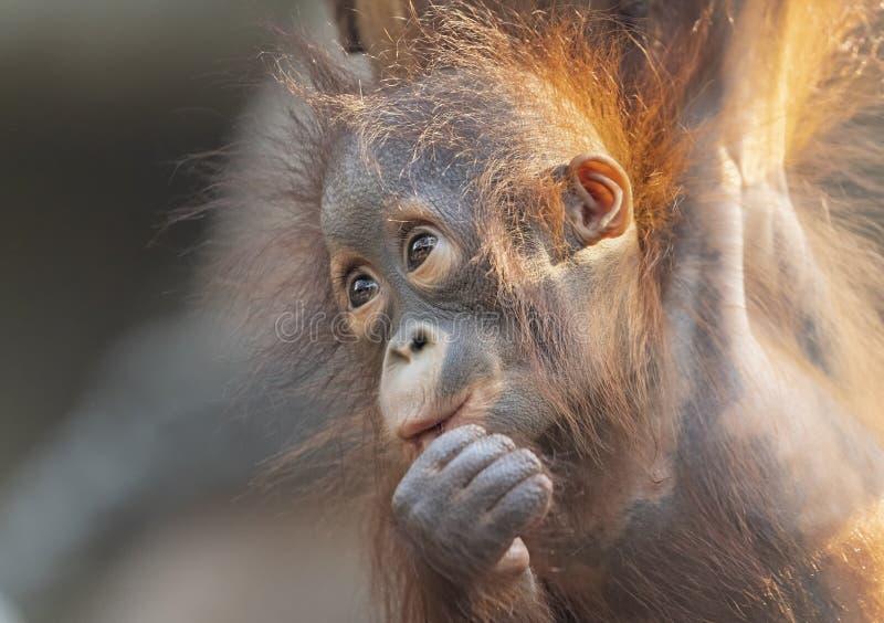 Punto di vista del primo piano di giovane orangutan immagini stock libere da diritti
