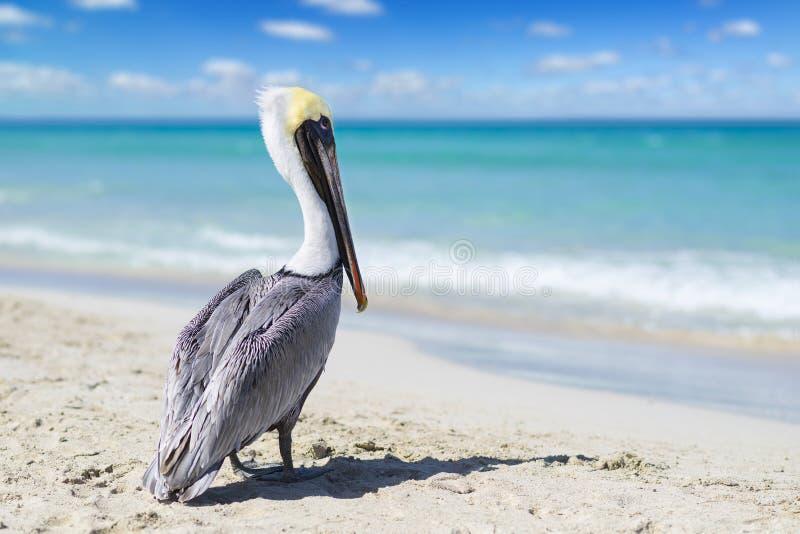 Punto di vista del primo piano del pellicano su una spiaggia dell'oceano in Cuba con bei acqua e cielo Fondo vago, bokeh, spazio  immagini stock libere da diritti