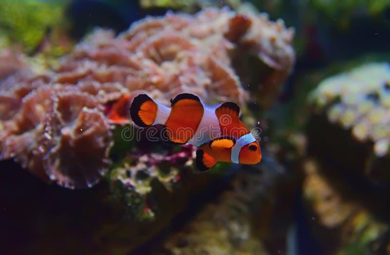 Punto di vista del primo piano di piccolo pesce del pagliaccio con differenti coralli nei precedenti fotografie stock libere da diritti