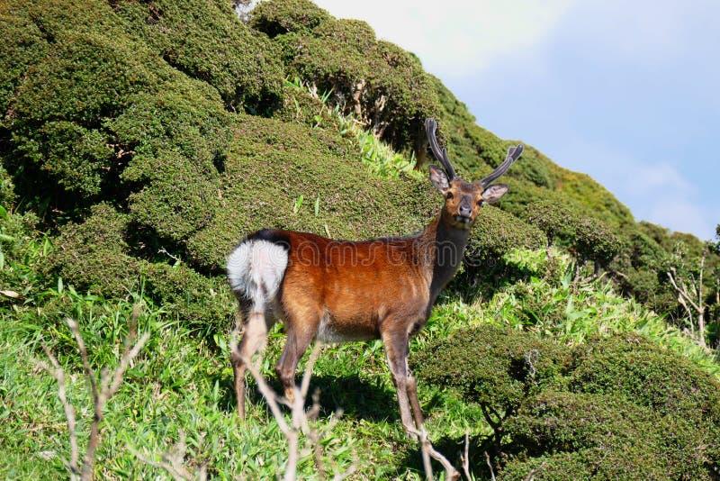 Punto di vista del primo piano di un cervo sopra il Mt Karakunidake, kogen di Ebino, Giappone immagini stock libere da diritti