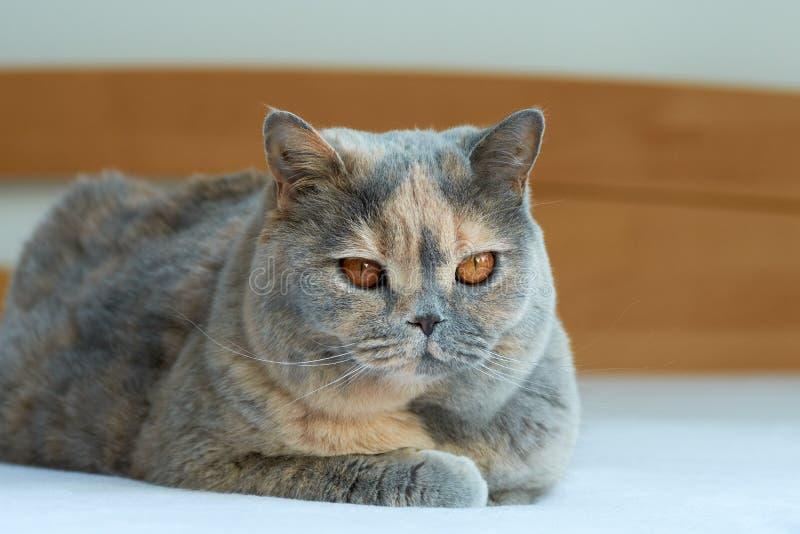 Punto di vista del primo piano di un gatto britannico della blu-crema Trovandosi sul letto, grandi occhi fotografia stock