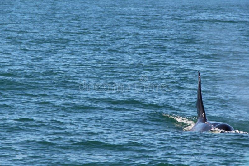 Punto di vista dell'orca al disopra della superficie vicino alla penisola di Kamchatka, Russia immagine stock libera da diritti