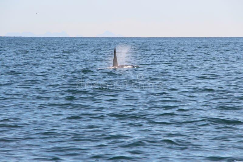 Punto di vista dell'orca al disopra della superficie vicino alla penisola di Kamchatka, Russia immagine stock