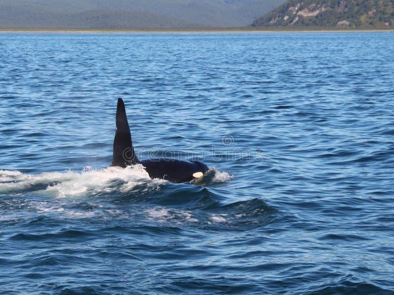 Punto di vista dell'orca al disopra della superficie vicino alla penisola di Kamchatka, Russia immagini stock libere da diritti