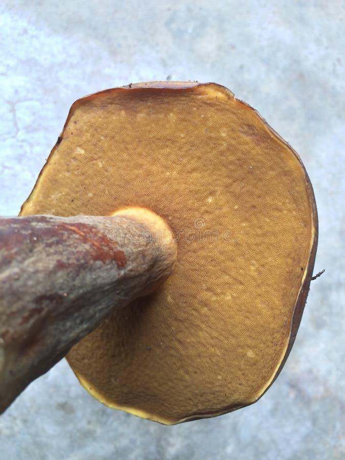 Punto di vista della formica del fungo di Brown fotografia stock