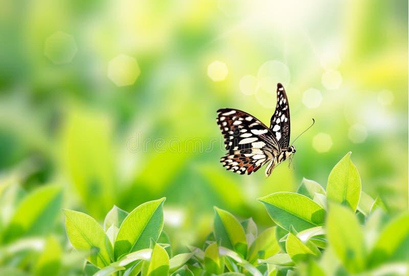 Punto di vista della natura del primo piano della farfalla con la foglia verde sul fondo vago della pianta in giardino con lo spa immagini stock
