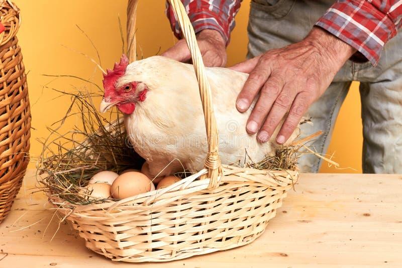 Punto di vista della sezione centrale dell'agricoltore maschio maturo che tocca con attenzione gallina domestica fotografia stock libera da diritti