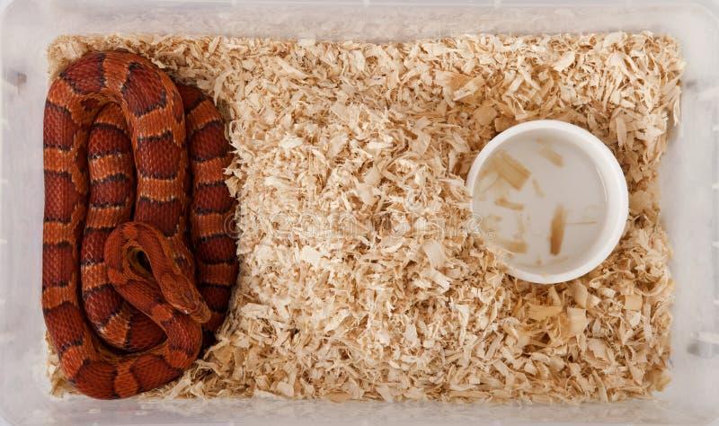 Punto di vista di alto angolo del serpente di cereale immagine stock