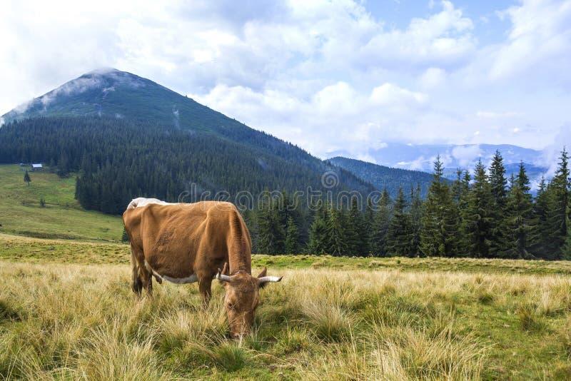 Punto di vista idilliaco della mucca marrone piacevole che pasce nel campo verde franco del pascolo immagini stock libere da diritti