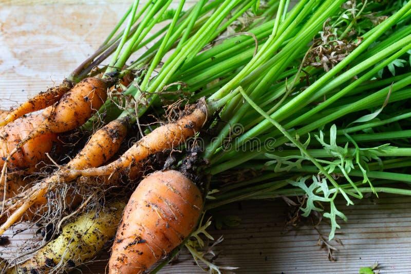 Punto di vista molto vicino delle carote di bambino fresche con le radici e le cime fotografia stock