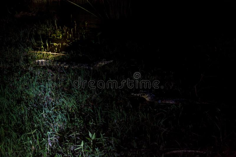 Punto di vista di notte del caimano di Yacare fotografia stock