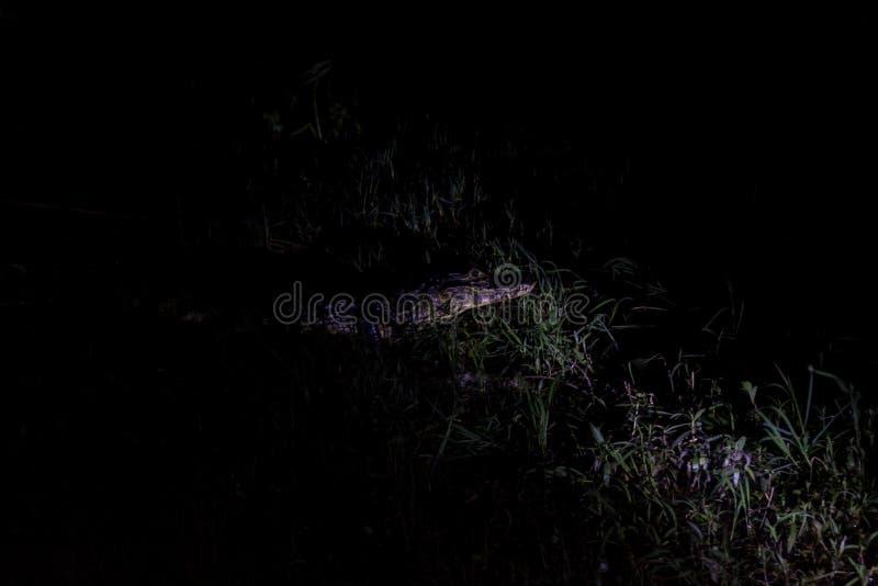 Punto di vista di notte del caimano di Yacare immagine stock libera da diritti