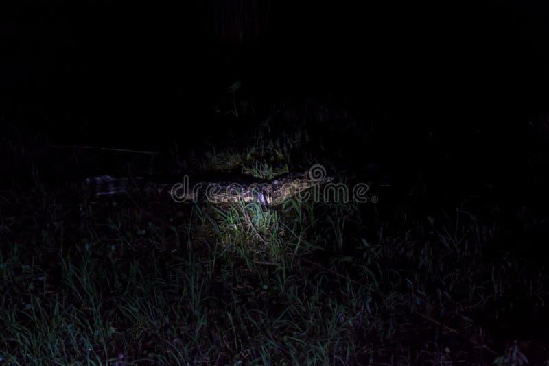 Punto di vista di notte del caimano di Yacare fotografie stock