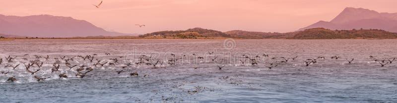 Punto di vista panoramico della colonia dei cormorani di re al Manica del cane da lepre, P immagine stock libera da diritti