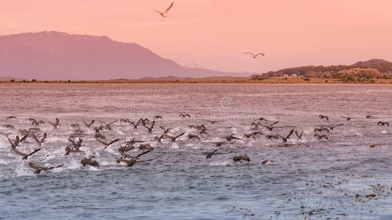 Punto di vista panoramico della colonia dei cormorani di re al Manica del cane da lepre, P fotografia stock libera da diritti