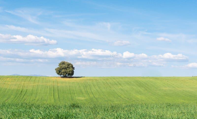 Punto di vista panoramico della quercia di leccio isolato su un giacimento di grano verde, sotto un cielo blu pulito fotografie stock