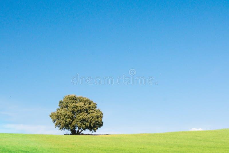 Punto di vista panoramico della quercia di leccio isolato su un giacimento di grano verde, sotto un cielo blu pulito fotografia stock libera da diritti