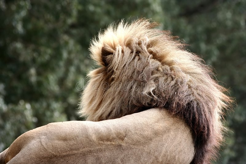 Punto di vista posteriore del leone fotografia stock libera da diritti