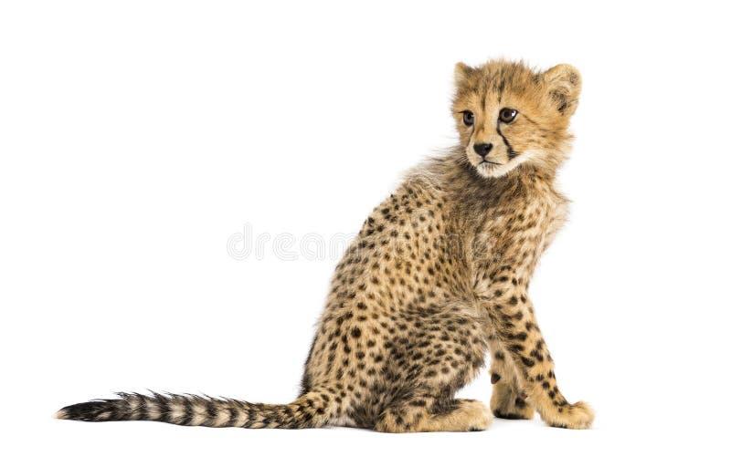 Punto di vista posteriore di un cucciolo del ghepardo di tre mesi che si siede, isolato fotografie stock