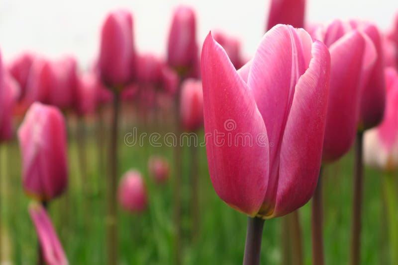 Punto di vista rosa di fioritura dei tulipani della primavera Tulipani nel giardino di fioritura di primavera Fiori rosa di fiori fotografia stock libera da diritti