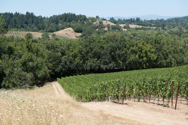 Punto di vista scenico delle viti di una vigna in Napa Valley, in California e nelle colline nei precedenti immagini stock libere da diritti