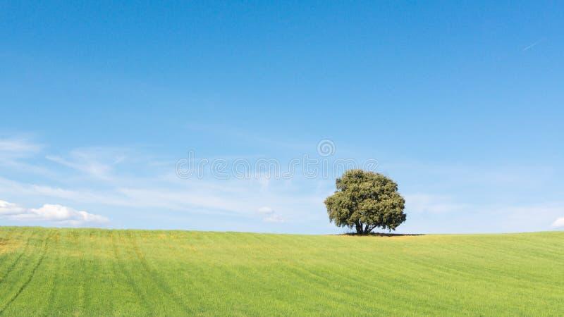 Punto di vista di stupore della quercia di leccio isolato su un giacimento di grano verde, sotto un cielo blu pulito immagine stock libera da diritti