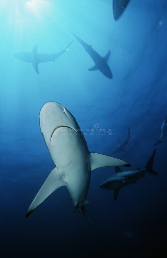 Punto di vista subacqueo degli squali di Blacktip (carcharhinus limbatus) fotografia stock libera da diritti