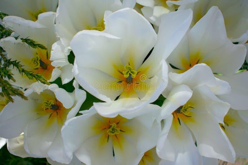 Punto di vista superiore di bei tulipani bianchi fotografie stock libere da diritti
