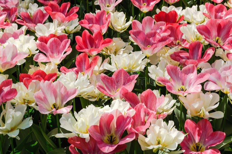 Punto di vista superiore di bei tulipani di fioritura con i petali bianco-rosa bicolori fotografia stock libera da diritti