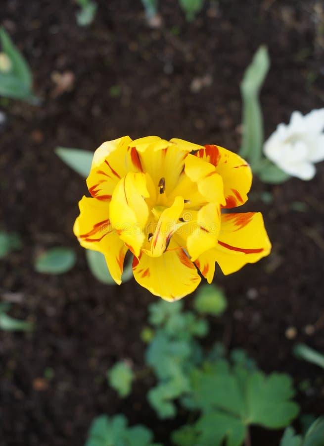Punto di vista superiore del tulipano giallo del pappagallo fotografia stock libera da diritti