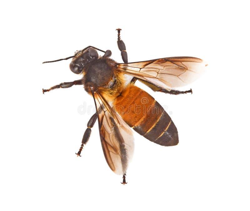 Punto di vista superiore dell'ape isolato su fondo bianco fotografia stock