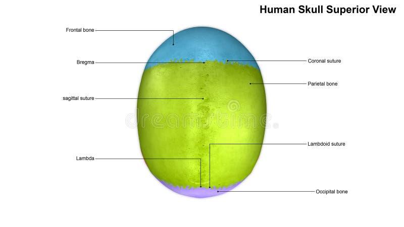 Punto di vista umano del superiore del cranio fotografia stock