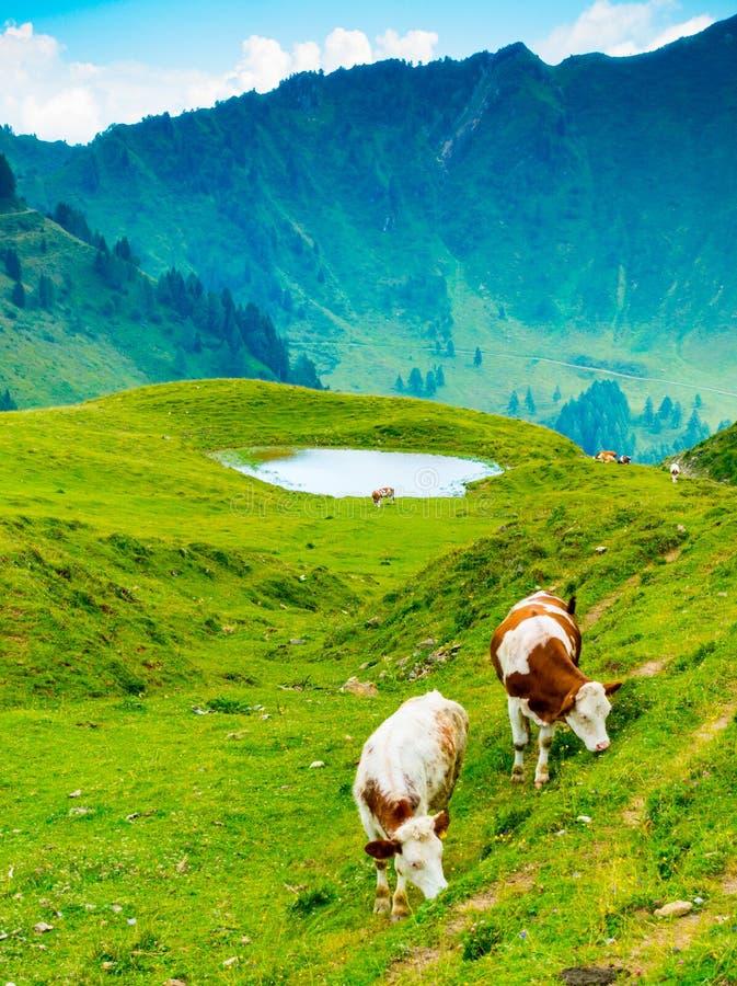 Punto di vista verticale delle mucche che pascono vicino a Casera Losa fotografia stock