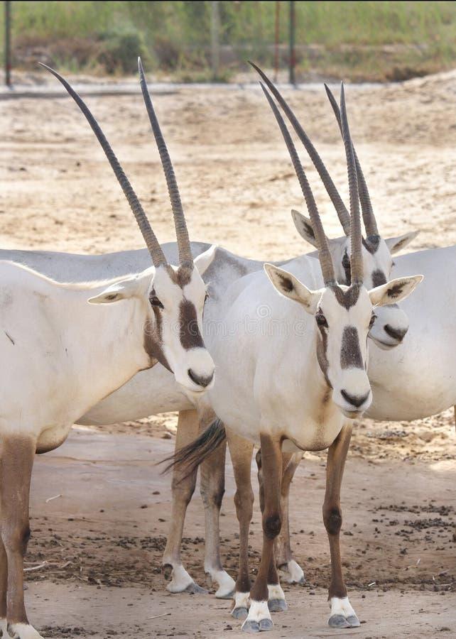 Punto di vista vicino del Oryx arabo immagine stock libera da diritti