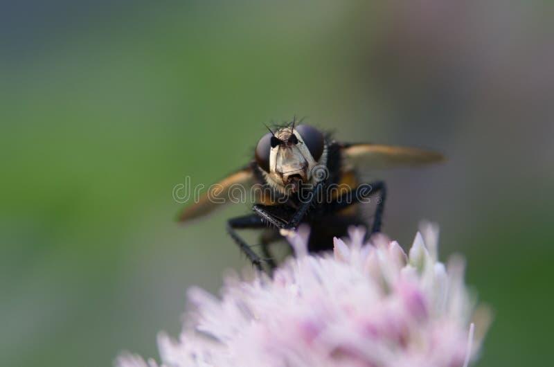 Punto di vista vicino dell'ape del miele che raccoglie polline da un fiore rosa fotografia stock