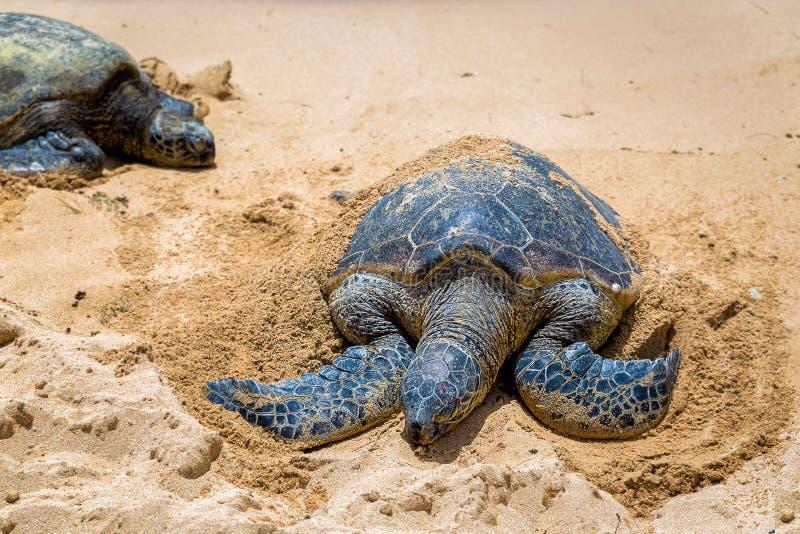 Punto di vista vicino delle tartarughe marine che riposano sulla spiaggia un giorno soleggiato, Oahu di Laniakea, fotografia stock