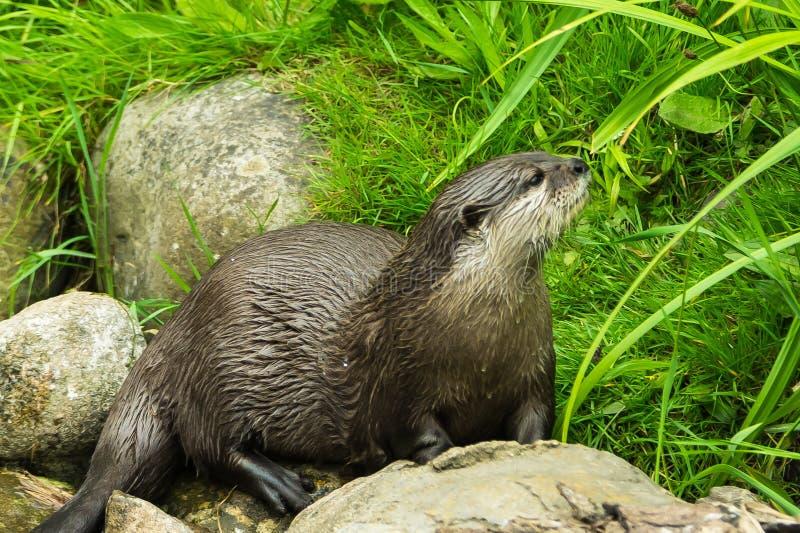 Punto di vista vicino di profilo dell'uccellino implume europeo della lontra fra le rocce fotografie stock libere da diritti