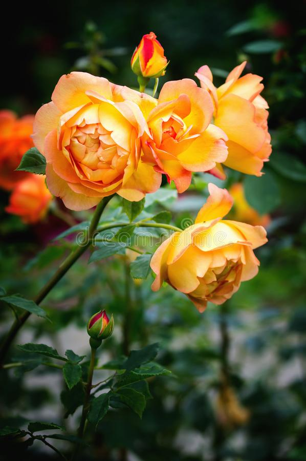 Punto di vista vicino di signora dei fiori delle rose di Shalott fotografia stock
