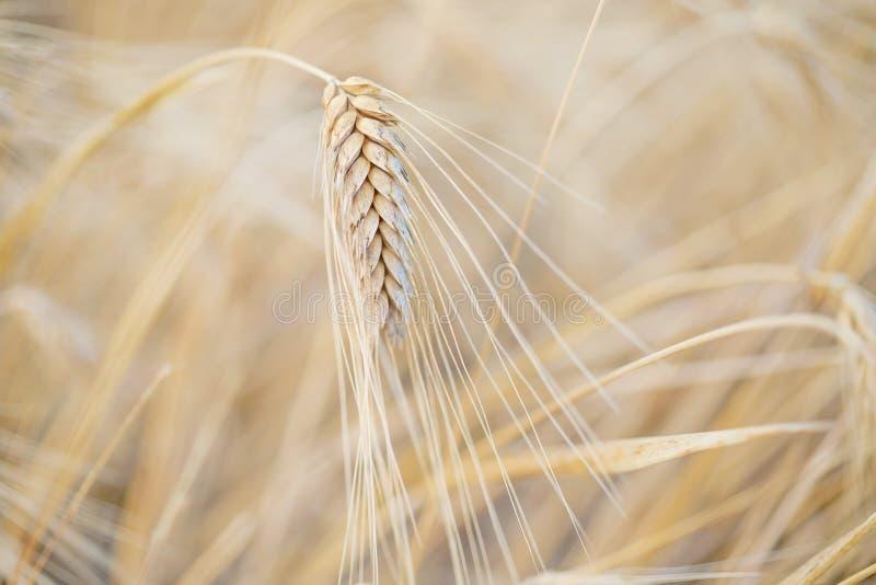 Punto maduro del trigo imagenes de archivo