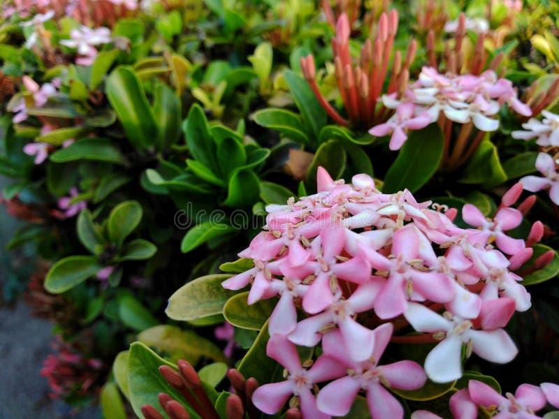 Punto rosado de la flor en un jardín hermoso imagenes de archivo