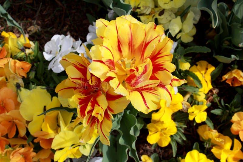 Punto Tulip Festival Flowers de la acción de gracias foto de archivo
