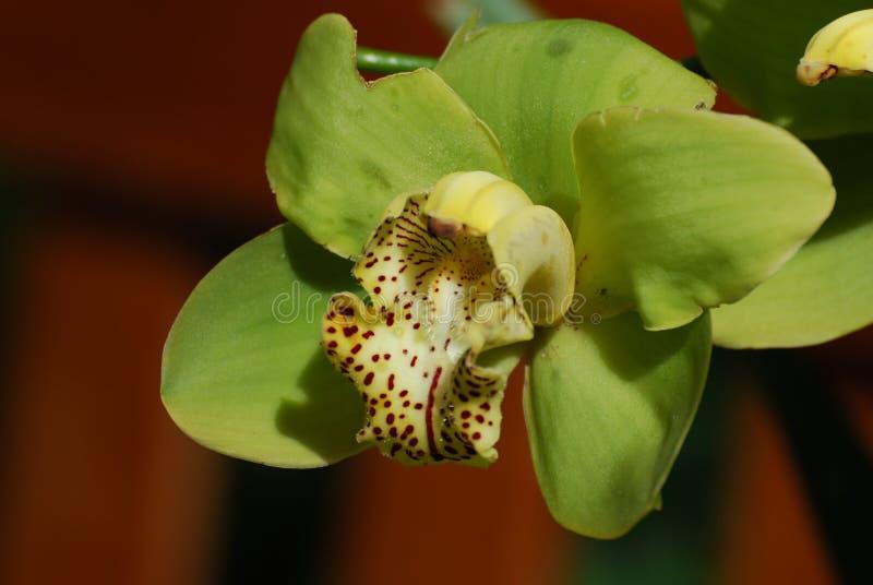 Puntos rojos en un flor verde floreciente de la orquídea fotos de archivo libres de regalías
